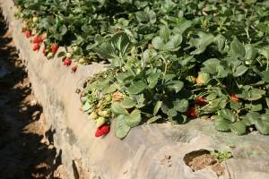erdbeeren-genuss